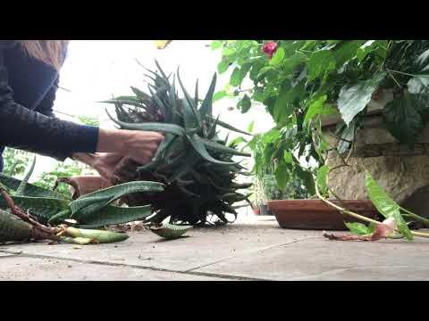 Variegated Aloe Makeover