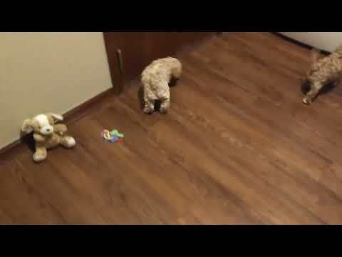 Butternut Playing with Her Siblings - Cavachon Puppy