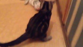 Продаются британские котята: шоколадная мраморная девочка и серебристый мальчик