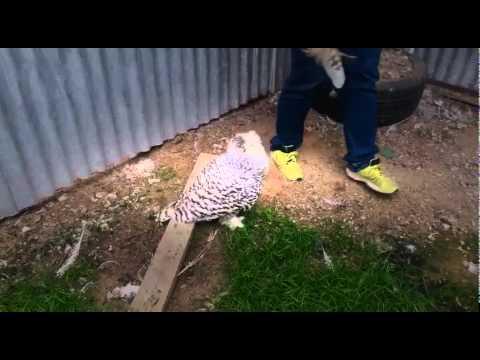 Snowy owl attacks women