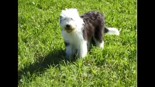 Old English Sheepdog Aurora (4 Month old) outside