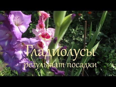 Картинка Астры белые пионовидные » Астры » Цветы