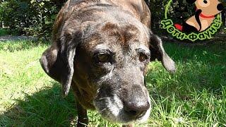 Старая собака. Чем часто болеют пожилые собаки? Уход за собакой в старости