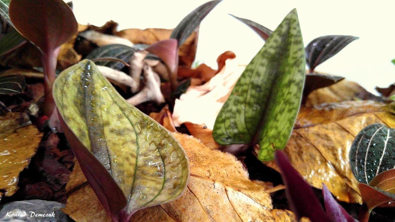 Jewel Orchids Paludarium Youtube