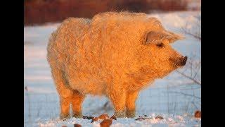 Meet the Mangalitsa Pig - The Pig looks like a Sheep