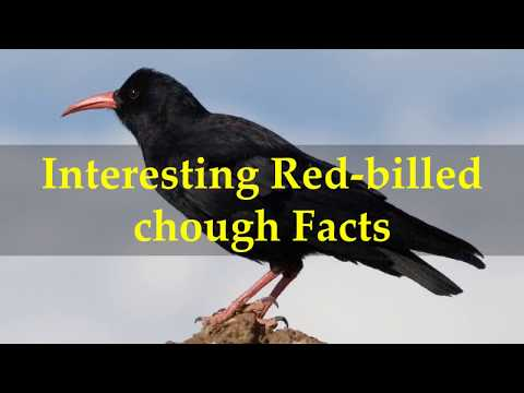 Interesting Red billed chough Facts