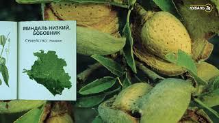«Красная книга Кубани». Миндаль низкий