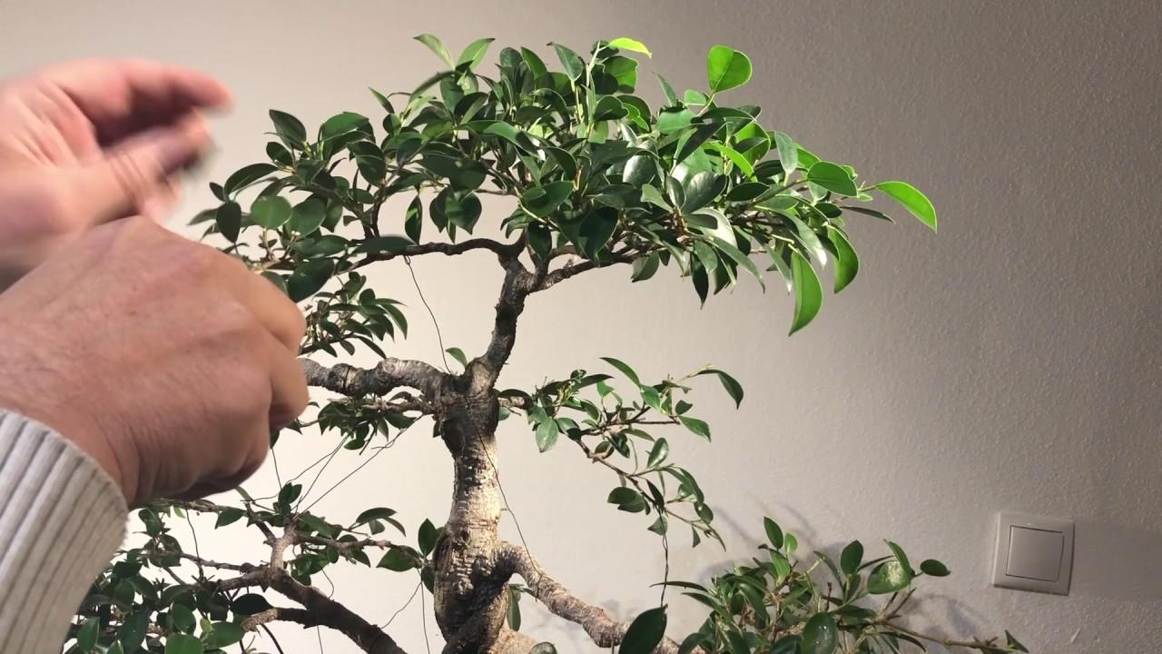 Best Indoor Bonsai For Beginners Ficus Tiger Bark Trimmed Youtube