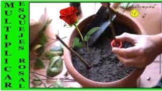 como multiplicar nuestros rosales haciendo esquejes, muy fácil