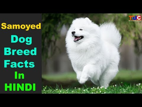 Samoyed Dog breed Facts In Hindi : Popular Dog Breeds : TUC
