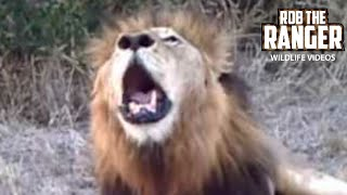 ROAR! - Wild Male lion - Brilliant, Powerful,  - Best Angle - Perfect Sound