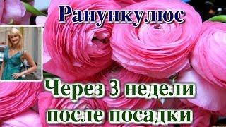 РАНУНКУЛЮС (ЛЮТИК). ЧЕРЕЗ 3 НЕДЕЛИ ПОСЛЕ ПОСАДКИ