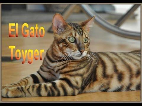 El Gato Toyger - Razas de gatos