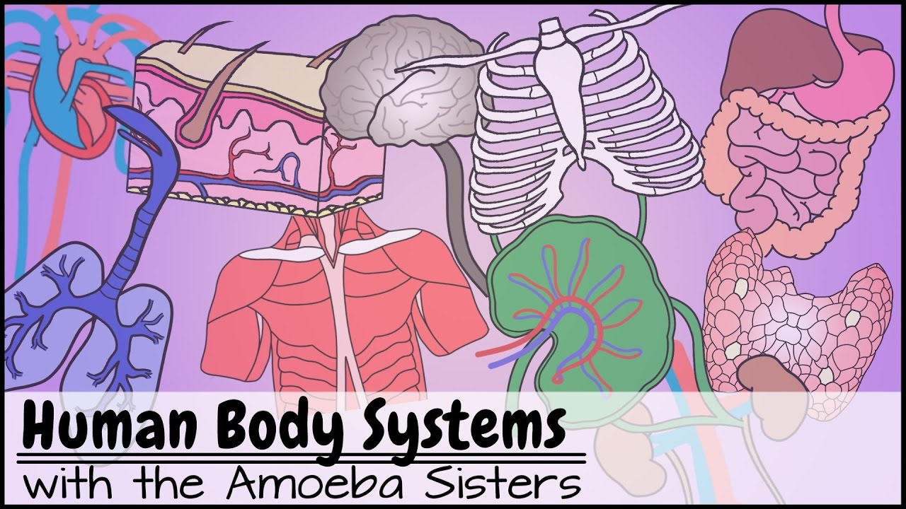 medium resolution of Human Body Systems Functions Overview: The 11 Champions (Updated) - YouTube
