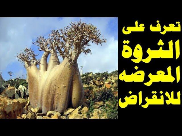 زراعة شجرة الباوباب شجرة التبلدى الشجرة المقلوبة شجرة خبز القرود شجرة العشاق شجرة الحبحبوه Youtube