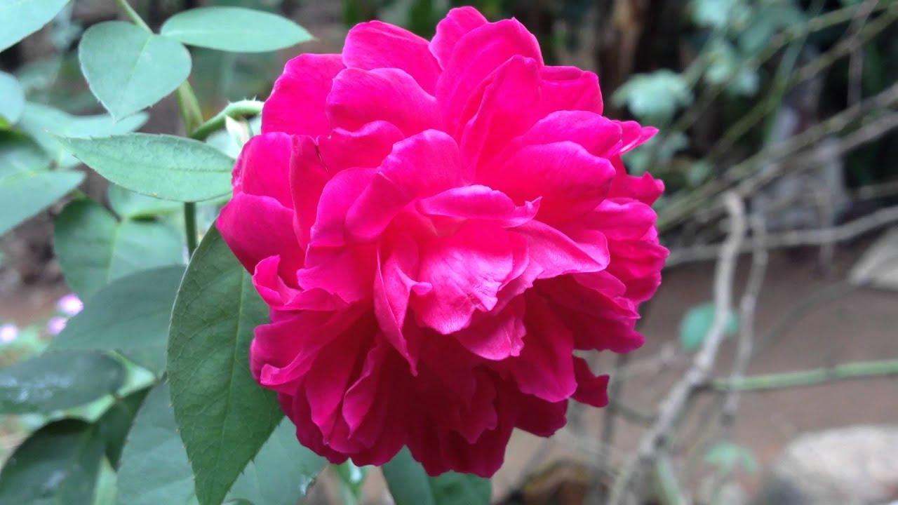 indian rose flower youtube
