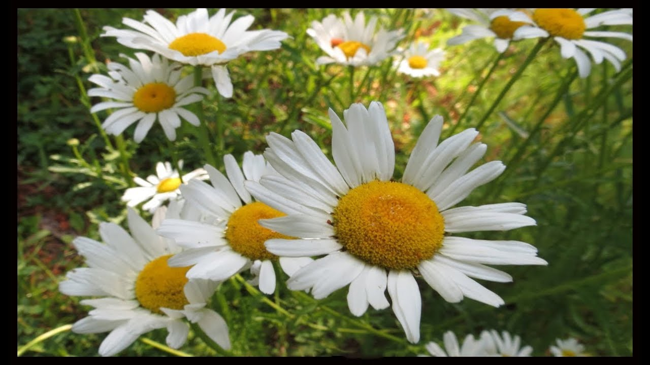 Wild daisies in the early morning sun youtube wild daisies in the early morning sun izmirmasajfo