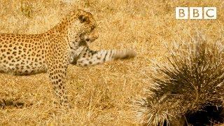 Leopard VS Porcupine! - BBC