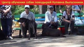 Центр обучения собак поводырей Купавна, проверяет своих выпускников собак-поводырей,лабрадор.