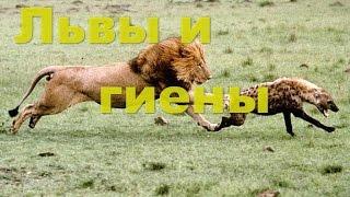 Львы и гиены. Кто победит? Львы против гиен видео. Дикие львы и гиены