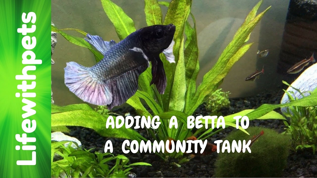 How to Add a Betta to a Community Tank