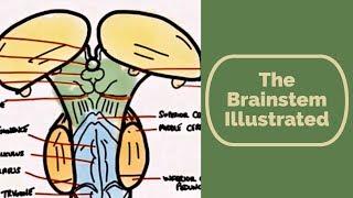 Brainstem Illustrated