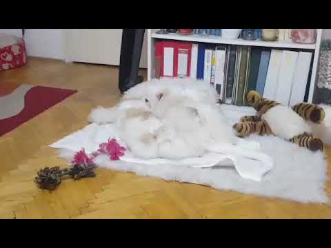 CUTE GERMAN SPITZ PLAYING WITH FAKE CATS