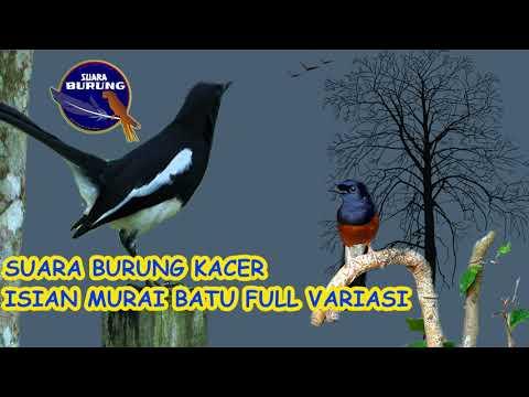 SUARA BURUNG KACER ISIAN MURAI BATU - FULL VARIASI GACOR BANGET
