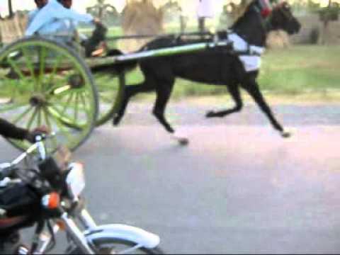 Bannu Horse 1
