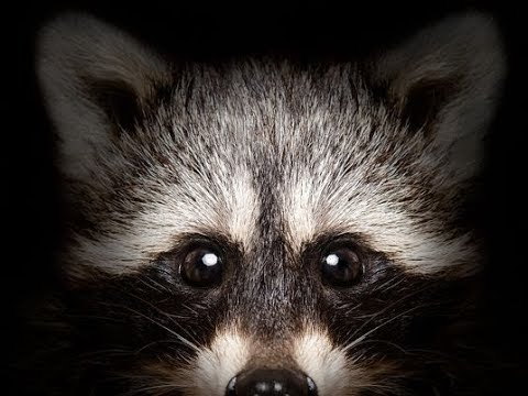 4 Ways To Tell if a Raccoon is RABID!!!
