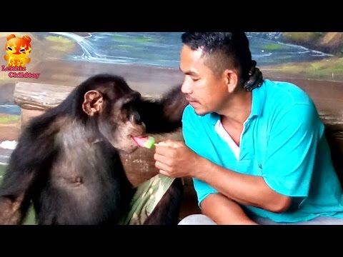 Entered icecream to chimpanzee's mouth