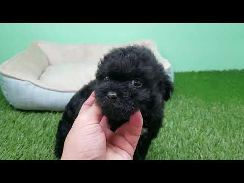 Topdogla- Maltipoo Puppy- Female- Megan