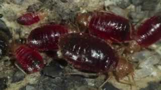 Bettwanzen/ Bedbugs: Literarische Wanzen