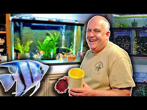 Freshwater Angelfish Care - 50 Years Of Experience!