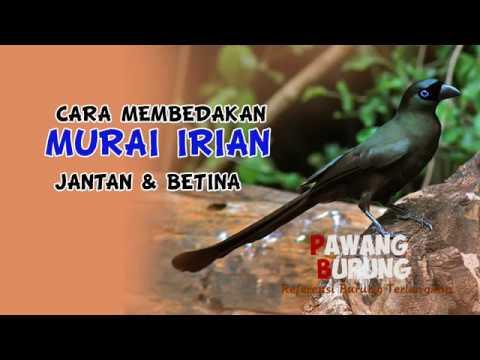 Ciri Burung Murai Irian Jantan Betina Youtube