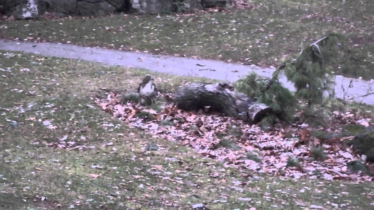 A Hawk in High Park