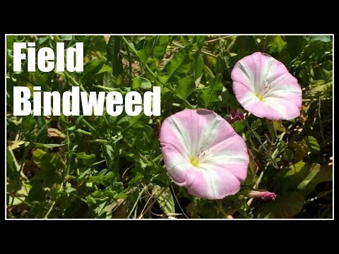 Field Bindweed (Convolvulus arvensis) Noxious Weed - Ninja Gardening - Episode 40