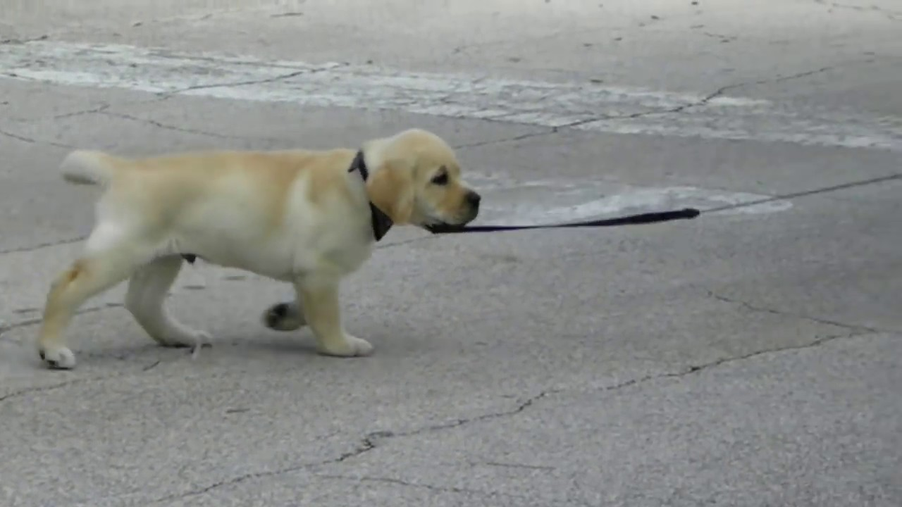 Leash training 7 week old puppy