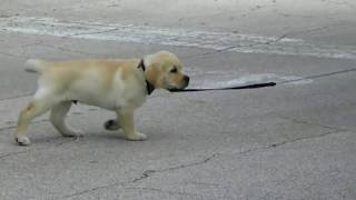 How to Leash Train a Puppy Labrador Puppy Jake