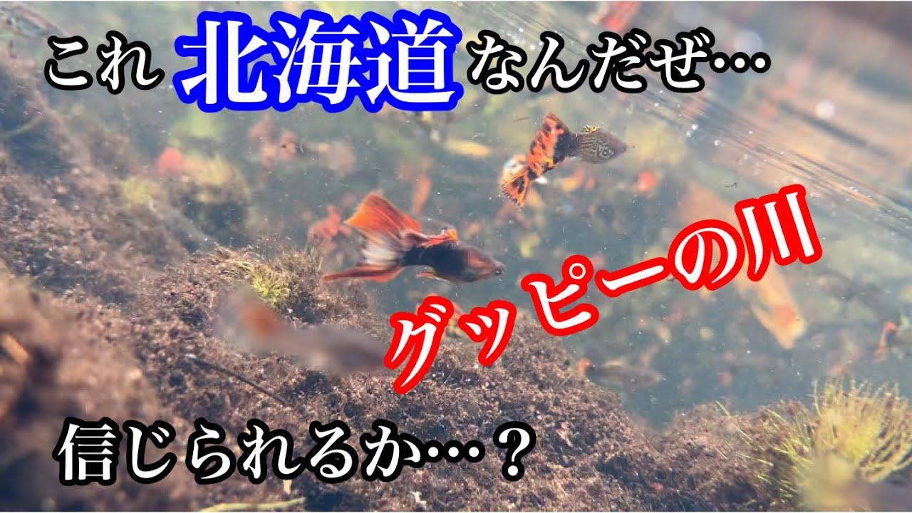 大量のグッピーが泳ぐ水路で魚とり。北海道熱帯魚探しガサガサ