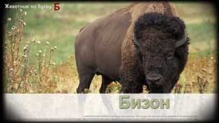 Животные на букву Б (1)