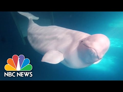 2 Beluga Whales Prepare For New Life In World's 1st Open Water Sea Sanctuary For Belugas | NBC News