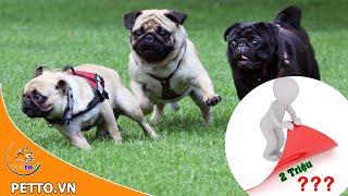 Chó Pug – Giá Bao Nhiêu Trên Thị Trường Hiện Nay – PETTO TV