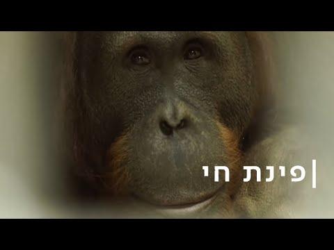 'חכמים כמו ילד קטן': חדר הבריחה של האורנגאוטנים מירושלים