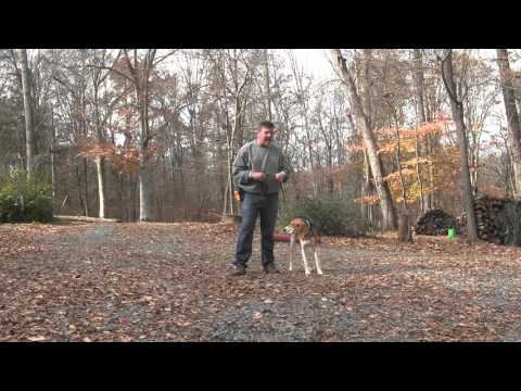 Molly | Treeing Walker Coonhound Puppy Training - Winston Salem NC