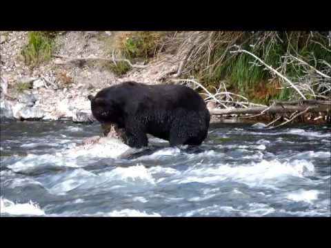 Grizzly bear eats a collapsed bison (LeHardy Rapids, Yellowstone)