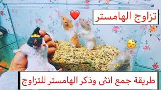 تزاوج الهامستر | تعلم معي الطريقة الافضل لجمع الذكر والانثى للتزاوج | Hamster mating / Mohamed Vlog