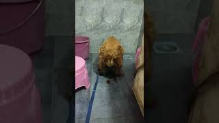 Cocker Spaniel Dog Giving Birth to Second Puppy