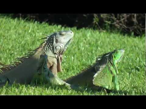 Iguanas being cute