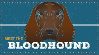 Bloodhound  | CKC Breed Facts & Profile